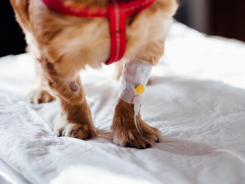 L'échographie en médecine vétérinaire
